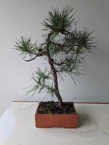 Literati pine before