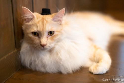 アトリエイエネコ Cat Photographer 44382193841_b9732e5961 1日1猫!CaraCatCafe天使に会いに行って来た(いや1週間前にry)格さんおめでとう♪ 1日1猫!  里親様募集中 箕面 猫写真 猫カフェ 猫 子猫 大阪 初心者 写真 保護猫カフェ 保護猫 ハチワレ スマホ キジ猫 カメラ Kitten Cute cat caracatcafe