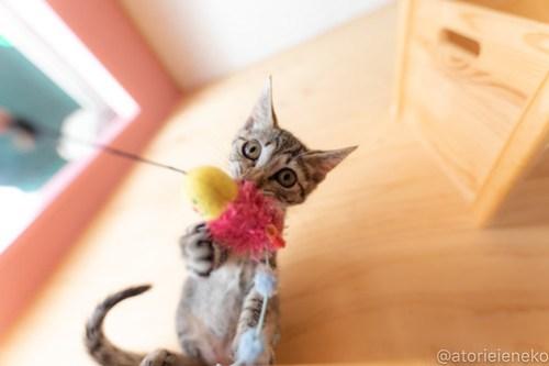 アトリエイエネコ Cat Photographer 30389119648_821b4fa0dc 1日1猫!おおさかねこ俱楽部 里活中の華ちゃんです♪ 1日1猫!  里親様募集中 猫写真 猫カフェ 猫 子猫 大阪 初心者 写真 保護猫カフェ 保護猫 ニャンとぴあ スマホ キジ猫 カメラ おおさかねこ倶楽部 Cute cat