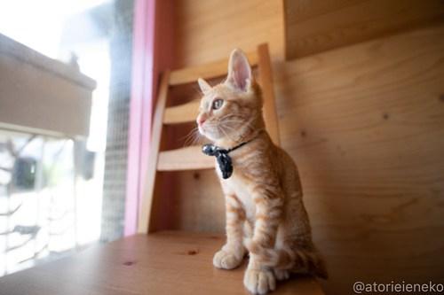 アトリエイエネコ Cat Photographer 29320093407_eb28b8c468 1日1猫!おおさかねこ俱楽部 里活中のナオトくんです♪ 1日1猫!  里親様募集中 猫写真 猫カフェ 猫 子猫 大阪 初心者 写真 保護猫カフェ 保護猫 ニャンとぴあ スマホ おおさかねこ倶楽部 Kitten Cute cat