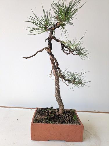 Literati pine after