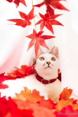 アトリエイエネコ Cat Photographer 30866549708_e2e6111e6b 1日1猫!おおさかねこ倶楽部 里活中のナオミちゃん♪ 1日1猫!  里親様募集中 猫写真 猫カフェ 猫 子猫 大阪 初心者 写真 保護猫カフェ 保護猫 ニャンとぴあ おおさかねこ倶楽部 Kitten Cute cat