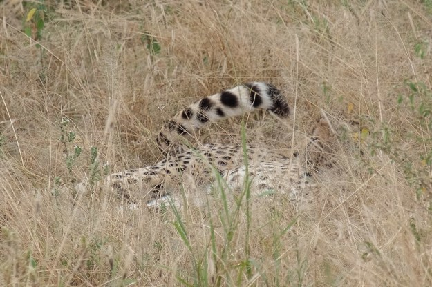 Cheetah giveaway. Tarangire