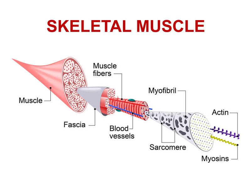 myofascial-release_muscles2