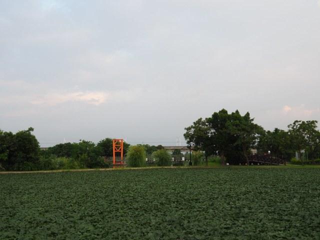 官田菱角 (7)
