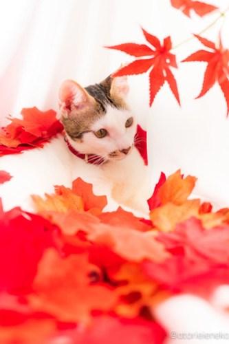 アトリエイエネコ Cat Photographer 42927122320_bb86982975 1日1猫!おおさかねこ倶楽部 里活中のナオミちゃん♪ 1日1猫!  里親様募集中 猫写真 猫カフェ 猫 子猫 大阪 初心者 写真 保護猫カフェ 保護猫 ニャンとぴあ おおさかねこ倶楽部 Kitten Cute cat