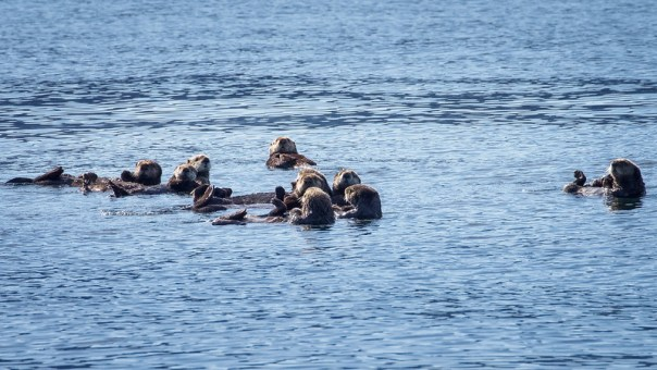 Raft of Otters