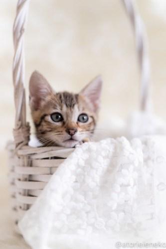 アトリエイエネコ Cat Photographer 43246824975_936cf16997 1日1猫!しっぽ天使さん 里活中の黍「きび」♀生後2ヶ月 3/4♪ 1日1猫!  高槻ねこのおうち 高槻 里親様募集中 猫写真 猫カフェ 猫 子猫 大阪 初心者 写真 保護猫 スマホ キジ猫 しっぽ天使 Kitten Cute cat