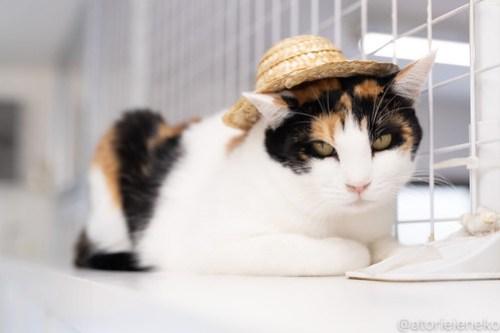 アトリエイエネコ Cat Photographer 30253639418_0347fa7d70 1日1猫!保護猫カフェねこんチ 2018夏 2/2♪ 1日1猫!  里親様募集中 猫写真 猫カフェ 猫 泉大津 子猫 大阪 初心者 写真 保護猫カフェねこんチ 保護猫カフェ 保護猫 カメラ Kitten Cute cat