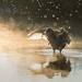 Coot in the Light