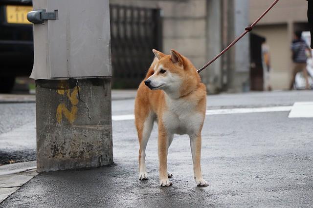 地震対策用の予備のリードを持っている犬