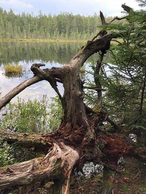 Samuel de Champlain - Dead tree