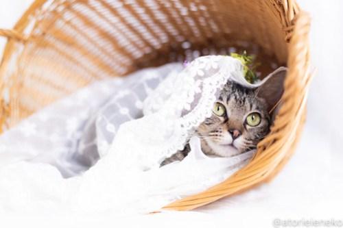 アトリエイエネコ Cat Photographer 43246826185_c15a109427 1日1猫!しっぽ天使さん 里活中の冴那「さな」♀ 約1歳 4/4♪ 1日1猫!  高槻ねこのおうち 高槻 里親様募集中 猫写真 猫カフェ 猫 子猫 大阪 初心者 写真 保護猫カフェ 保護猫 キジ猫 キジ カメラ しっぽ天使 Kitten Cute cat