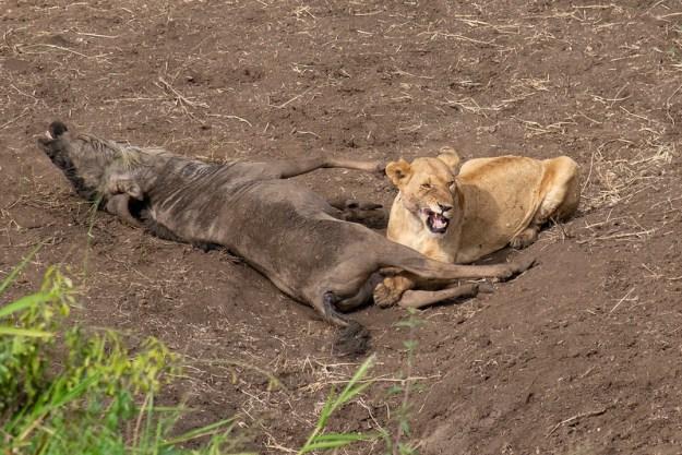 Lion Eats Wildebeest