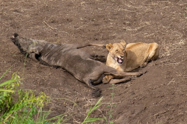 Lion Eats Wildebeest