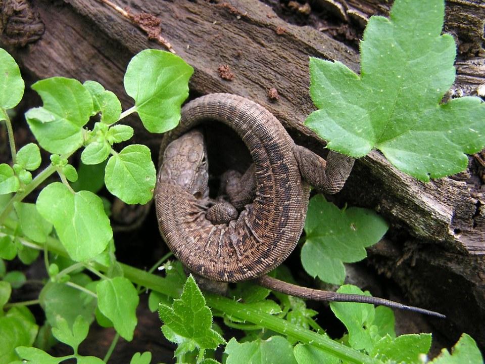 lagarto Animales fauna Islas Canarias 71