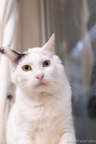 アトリエイエネコ Cat Photographer 44152800641_63be8fd3b3 1日1猫!しっぽ天使さんの「猫舎」に行ってきた 1/2♪ 1日1猫!  高槻 里親様募集中 猫写真 猫カフェ 猫 子猫 大阪 初心者 写真 保護猫 キジ猫 カメラ しっぽ天使 Kitten Cute cat