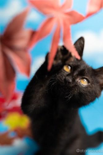 アトリエイエネコ Cat Photographer 43640228375_b6580ea55e 1日1猫!ニャンとぴあ ちょっと大きくなったセシルちゃん♪ 1日1猫!  黒猫 里親様募集中 猫写真 猫カフェ 猫 子猫 大阪 初心者 写真 保護猫カフェ 保護猫 ニャンとぴあ スマホ カメラ おおさかねこ倶楽部 Kitten Cute cat