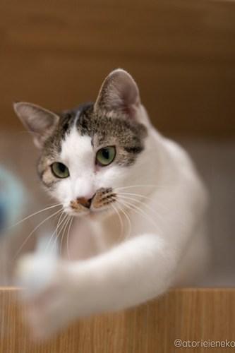 アトリエイエネコ Cat Photographer 45563860572_45a63782b1 1日1猫!保護猫カフェかぎしっぽさんに行って来た♫ 1日1猫!  里親様募集中 猫写真 猫カフェ 猫 子猫 大阪 写真 保護猫カフェかぎしっぽ 保護猫カフェ 保護猫 ハチワレ スマホ サビ猫 キジ猫 カメラ Kitten Cute cat