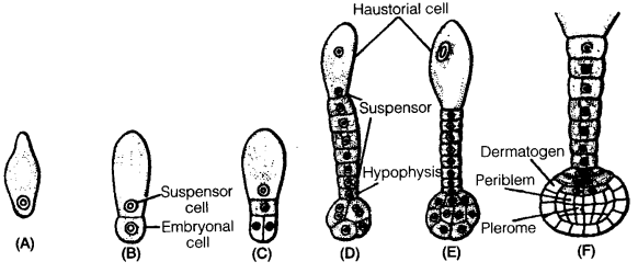 UP Board Solutions for Class 12 Biology Chapter 2 Sexual Reproduction in Flowering Plants 4Q.5.1