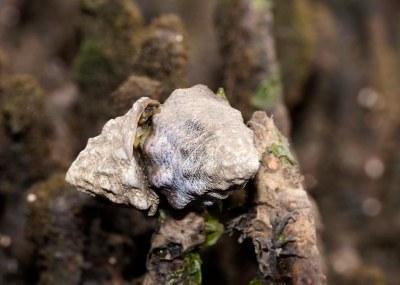 Bembicium auratum - Dark mouth conniwink