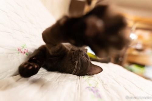 アトリエイエネコ Cat Photographer 44889941424_b8a8aa4e00 1日1猫!保護猫カフェかぎしっぽさんに行って来た♫ 1日1猫!  里親様募集中 猫写真 猫カフェ 猫 子猫 大阪 写真 保護猫カフェかぎしっぽ 保護猫カフェ 保護猫 ハチワレ スマホ サビ猫 キジ猫 カメラ Kitten Cute cat