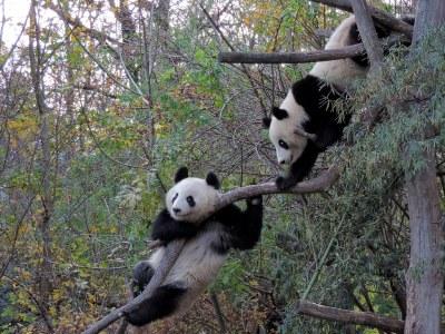Goodbye,  Fu Feng and Fu Ban...