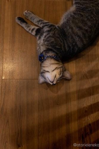 アトリエイエネコ Cat Photographer 44917386352_e078b61ca4 1日1猫!保護猫カフェ森のねこ舎さん♪ 1日1猫!  里親様募集中 猫写真 猫カフェ 猫 森のねこ舎 子猫 大阪 初心者 写真 保護猫カフェ 保護猫 Kitten Cute cat