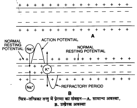 UP Board Solutions for Class 11 Biology Chapter 21 Neural Control and Coordination L 2