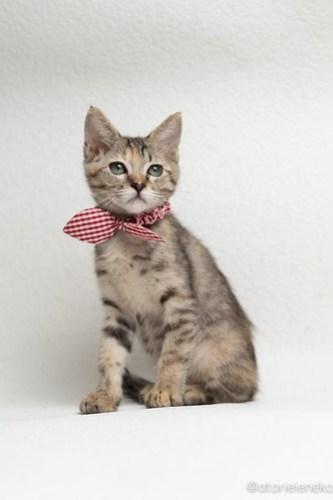 アトリエイエネコ Cat Photographer 30050251397_c1c2e3ae31 1日1猫!おおさかねこ倶楽部 里活中のはるちゃんです♪ 1日1猫!  里親様募集中 里親募集 猫写真 猫カフェ 猫 子猫 大阪 写真 保護猫カフェ 保護猫 ニャンとぴあ スマホ キジ猫 おおさかねこ倶楽部 Kitten Foster parents Cute cat