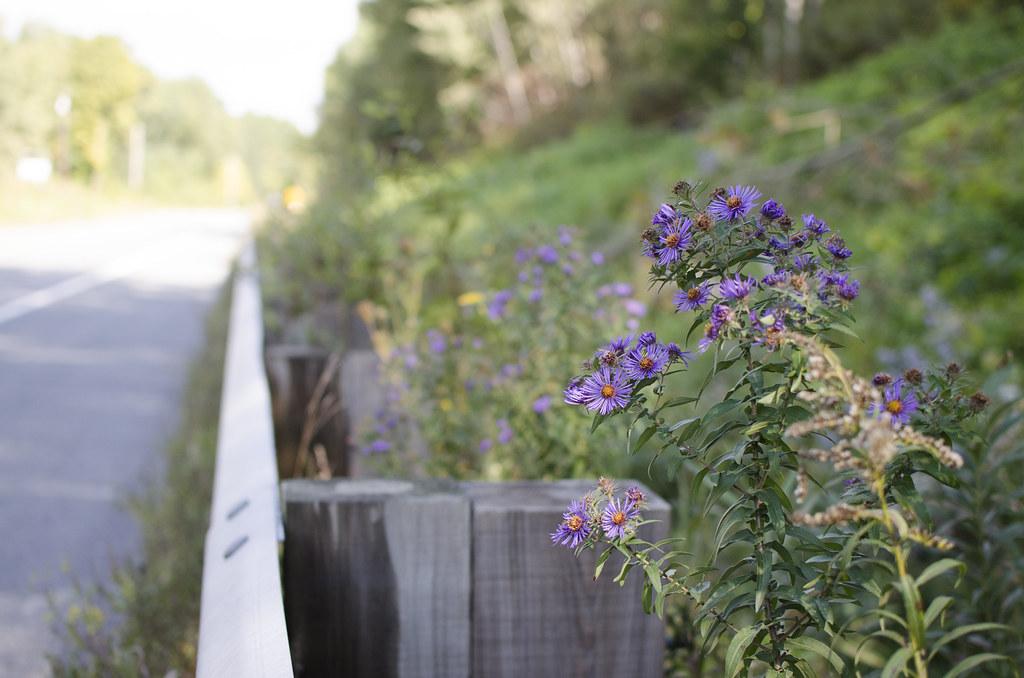 michaelmas daisies 10