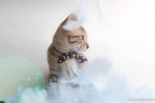 アトリエイエネコ Cat Photographer 31113503398_e4dfc960fa 1日1猫!おおさかねこ倶楽部 里活中のあきとくん♪ 1日1猫!  里親様募集中 猫写真 猫カフェ 猫 子猫 大阪 写真 保護猫カフェ 保護猫 ニャンとぴあ キジ猫 カメラ おおさかねこ倶楽部 Kitten Cute cat