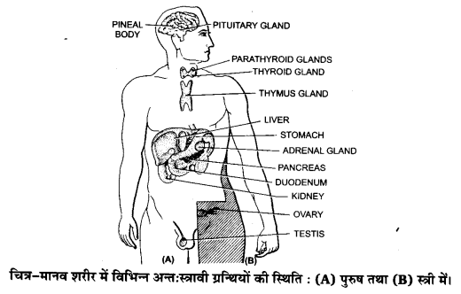 UP Board Solutions for Class 11 Biology Chapter 22 Chemical Coordination and Integration(रासायनिक समन्वय तथा एकीकरण)