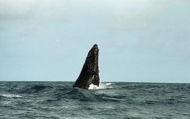Periscope Whale