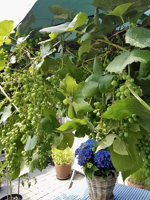 Pergola druiven landelijke tuin