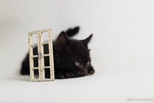 アトリエイエネコ Cat Photographer 31583575278_ebc899867d 1日1猫!高槻ねこのおうち 里活中黒子猫(まだ名無し)♪ 1日1猫!  黒猫 高槻ねこのおうち 高槻 里親様募集中 猫写真 猫カフェ 猫 子猫 大阪 初心者 写真 保護猫 Kitten Cute cat