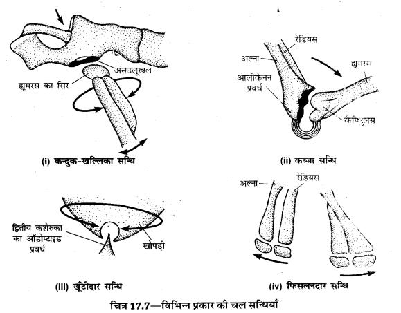 UP Board Solutions for Class 10 Home Science Chapter 17 मानव अस्थि-संस्थान तथा सन्धियाँ 7
