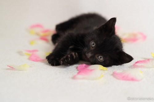 アトリエイエネコ Cat Photographer 31583572598_4146817397 1日1猫!高槻ねこのおうち 里活中黒子猫(まだ名無し)♪ 1日1猫!  黒猫 高槻ねこのおうち 高槻 里親様募集中 猫写真 猫カフェ 猫 子猫 大阪 初心者 写真 保護猫 Kitten Cute cat