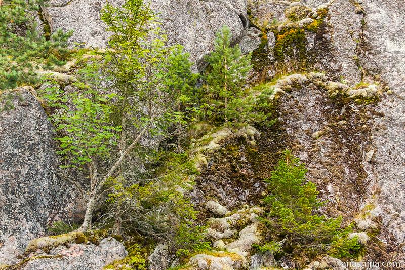 Деревья на скале, Ладожское озеро