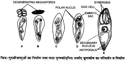 UP Board Solutions for Class 12 Biology Chapter 2 Sexual Reproduction in Flowering Plants 4Q.2