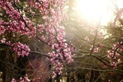 Photo of blooming red bud