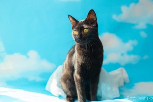 アトリエイエネコ Cat Photographer 31742236748_9f7fb49b3d 1日1猫!高槻ねこのおうち 里活中準備中黒子猫♫ 1日1猫!  黒猫 高槻ねこのおうち 里親様募集中 里親募集 猫写真 猫カフェ 猫 子猫 大阪 初心者 写真 保護猫カフェ 保護猫 Kitten Cute cat