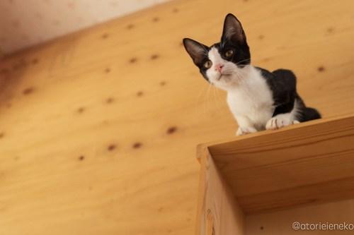 アトリエイエネコ Cat Photographer 44378332135_bf78583a3b 1日1猫!おおさかねこ倶楽部 里活中のマールちゃんです♪ 1日1猫!  里親様募集中 猫写真 猫カフェ 猫 子猫 大阪 写真 保護猫カフェ 保護猫 ハチワレ ニャンとぴあ おおさかねこ倶楽部 Kitten Foster parents Cute cat