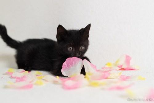アトリエイエネコ Cat Photographer 45458741391_2a77a12a74 1日1猫!高槻ねこのおうち 里活中黒子猫(まだ名無し)♪ 1日1猫!  黒猫 高槻ねこのおうち 高槻 里親様募集中 猫写真 猫カフェ 猫 子猫 大阪 初心者 写真 保護猫 Kitten Cute cat