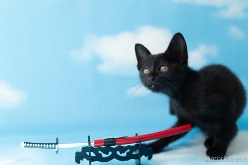 アトリエイエネコ Cat Photographer 30673416687_b8807f9a5f 1日1猫!高槻ねこのおうち たまちゃんトライアル決定♫ 1日1猫!  黒猫 高槻ねこのおうち 里親様募集中 里親募集 猫写真 猫カフェ 猫 子猫 大阪 写真 保護猫 カメラ Kitten Cute cat