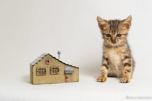 アトリエイエネコ Cat Photographer 43641933110_fb8997b249 1日1猫!高槻ねこのおうち 里活中準備中キジ長毛ズ♫ 1日1猫!  高槻ねこのおうち 高槻 里親様募集中 里親募集 猫写真 猫カフェ 猫 子猫 大阪 初心者 写真 保護猫カフェ 保護猫 スマホ キジ猫 カメラ Kitten Cute cat