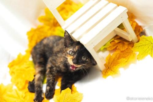 アトリエイエネコ Cat Photographer 43974062985_82203b803f 1日1猫!高槻ねこのおうち 里活中のうたちゃん♪ 1日1猫!  高槻ねこのおうち 里親様募集中 猫写真 猫カフェ 猫 子猫 大阪 初心者 写真 保護猫カフェ 保護猫 スマホ サビ猫 カメラ Kitten Cute cat