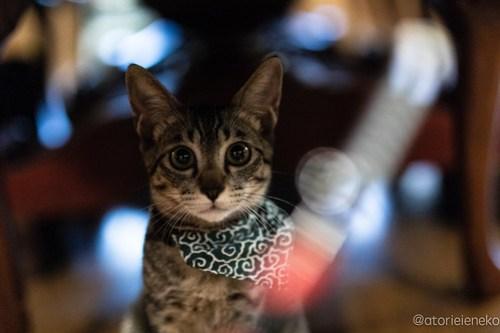 アトリエイエネコ Cat Photographer 44427143234_dbe4db31b7 1日1猫! CaraCatCafeさん殿様募集中の助さん!(3/3) 1日1猫!  里親様募集中 箕面 猫 子猫 大阪 初心者 写真 保護猫カフェ 保護猫 ハチワレ キジ猫 カメラ Cute cat caracatcafe