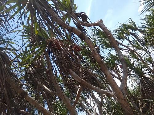 Pohon Pandan laut tanaman khas pulau drini sedang berbuah