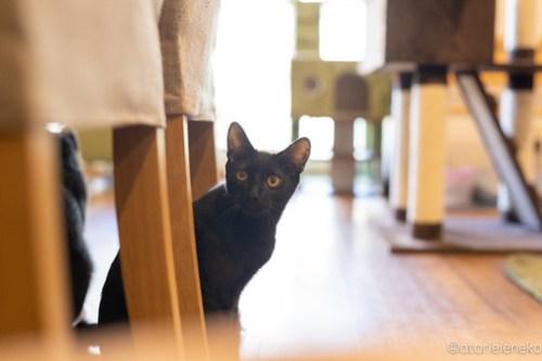 アトリエイエネコ Cat Photographer 44965829101_ce3d4bced3 1日1猫!保護猫カフェ森のねこ舎さん♪ 1日1猫!  里親様募集中 猫写真 猫カフェ 猫 森のねこ舎 子猫 大阪 初心者 写真 保護猫カフェ 保護猫 Kitten Cute cat